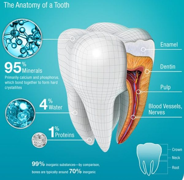 00_img_Tooth_Anatomy_m