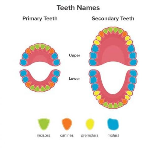 teeth-job-inforgraphics-adentaloffice